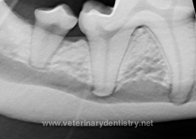Grossly Normal Molar in a Dog with Radiographic Pathology